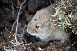 Field vole down by the bank