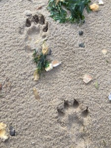 Footprints from an otter