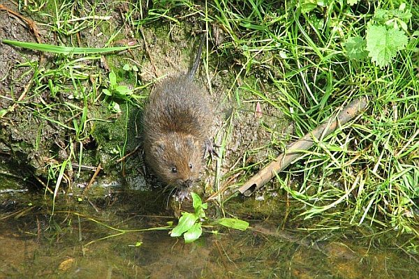 Water vole at the side of a stream