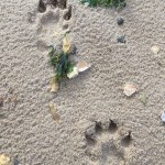 otter-foot-prints